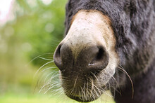 The Muzzle Of A Mule. Close Up, For Kissing