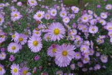Numerous Light Pink Flowers Of Michaelmas Daisies In October