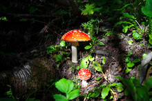 Forest Mushroom Fly Agaric With A Red Cap Next To Green Grass