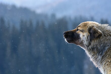 Romanian Mioritic Shepherd Dog Staying Allert In Snow Winter Cold. This Is A Large Breed Of Livestock Guardian Dog That Originated In The Carpathian Mountains Of Romania