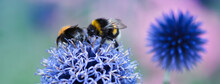 Blue Globe Thistle With Flowers Close Up, Blooming In The Summer Garden, Pollinating Bumblebees On Top, Soft Pastel Colours Web Banner Background, Ornamental Plants And Attracting Pollinators Concept