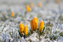 Field Of Flowering Crocus Vernus Plants Covered With Snow, Group Of Bright Colorful Early Spring Flowers In Bloom