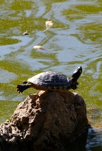 European Pond Turtle Balanced On A Rock Basking In The Sun With Outstretched Limbs