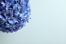 Beautiful Bright Hortensia Flowers On Light Blue Background. Space For Text