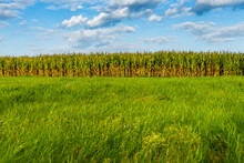Fresh Long Green Grass With Corn Field Plantation Background
