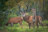 Fototapeta Kawa jest smaczna - European deer male buck ( Cervus elaphus ) during rut