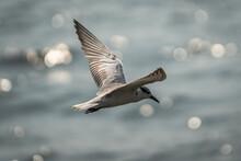 Whiskered Tern Flying Over Shimmering Ocean
