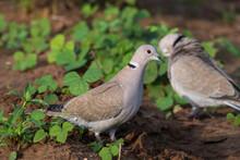 A Pair Of Eurasian Collared Doves Photographed At Shokaliya, Rajasthan, India