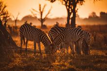 View Of Zebras In Their Habitat On Safari In Okavanga, Delta, Botswana