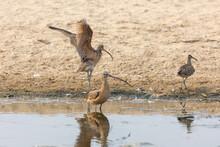 Long-billed Curlews On Beach