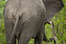 Close-up Of Elephant From Behind