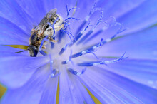Wild Bee On The Blue Flower Covered In Pollen. Pollinator On The Flower
