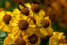 Close Up Of Common Sneezeweed Flowers In Bloom