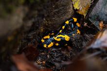 Salamander In Nature