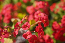 Crowns Of Thorns, Euphorbia Milii, Species Of Spurges, Also Known As Christ Plant, Christ Thorn