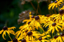 Brown Eyed Susan Flowers Grow Bright And Tall In The Summer Sunshine