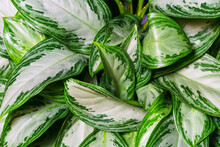 Aglaonema Silver Bay As A Natural Background Of Green Leaves With White Spots. Indoor Plant Close Up View From Above
