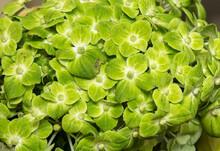 Green Flower Of Hydrangea Background Texture
