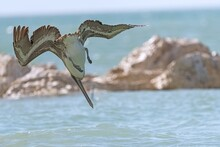 Close-up Of Pelican Hunting On Beach