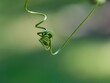 canvas print picture Plant Tendril