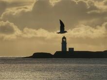 Seagull In Stornoway