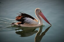 The Tranquillity Of Pelican