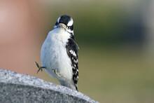 Yippee - Downy Woodpecker