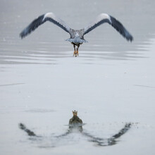 Heron Flying Over A Water