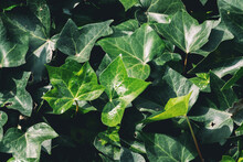 Ivy Plant Full Frame