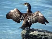 Bird  Drying Wings On A Rock