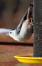 Nuthatch Stretches Out On A Finch Feeder