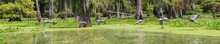 A Panoramic Of A Great Blue Heron Taking Flight Over A Swamp In Southern Louisiana, USA,