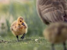 Close-up Of A Goose