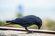 Close-up Of Crow Perching On A Wall