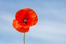 A Single Red Poppy Against A Blue Sky