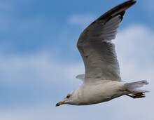 Flying Sea Gull