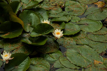 White Water Lilies Bloom