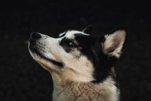 Husky Looking Left