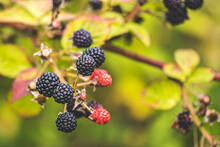 Wild Black And Red Berries On The Bush, Ripening And Unripe Wild Blackberries In The Countryside, Close Up