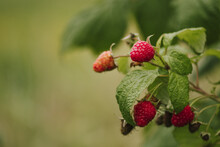 Fresh Organic Wild Red Raspberry On The Bush With Green Leaves, Close Up