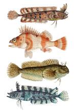 Vintage Fish Vector Ocean Life Collection