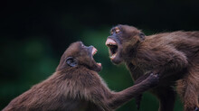 Theropithecus Gelada Values His Teeth During A Big Quarrel.