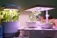 Basil Hydroponics With LED