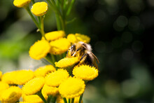 A Bumblebee Exploring A Grass Flower Tanacetum Vulgare , A Honey Bee On A Yellow Flower Feeds On Nectar In Summer