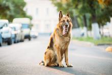 Alsatian Wolf Dog Sitting On Road. Brown German Shepherd Dog Sitting On Road In Sunny Summer Day