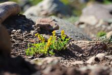 Closeup Shot Of Tiny Little Yellow Wildflowers Growing On Rocks