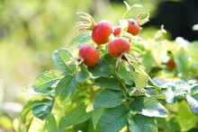 Red Currant Bush,three Rose Hips With Green Leaves