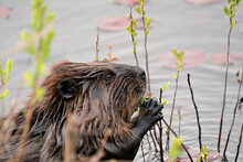 Beaver Photo Stock. Close-up Profile Side View Head Shot With Water Lily Pads And Water Background, Eating Foliage In Its Environment And Habitat. Image. Picture. Portrait.