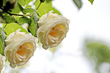 Beautiful Blooming Rose Flowers On Background Of Green Plants After Rain In The Home Garden. Transparent Raindrops On The Petals.