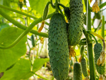 Green Cucumbers Of Various Sizes Weigh On Whips With Yellow Flowers.